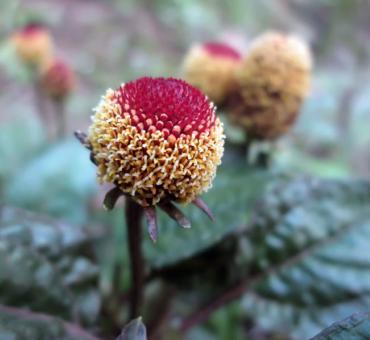 Acmella oleracea ila Spa